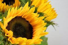 Sun Flower, Flower, Blossom, Bloom Stock Photo