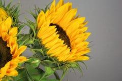Sun Flower, Flower, Blossom, Bloom Stock Image