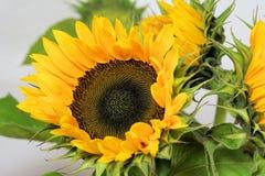 Sun Flower, Flower, Blossom, Bloom Stock Images