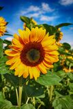 Sun Flower, Flower, Blossom, Bloom Stock Images