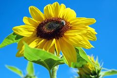 Sun Flower, Flower, Flowers, Yellow Stock Image
