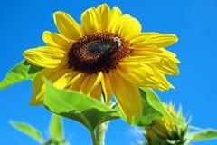 Sun Flower, Flower, Flowers, Yellow Stock Image