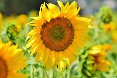 Sun Flower, Flower, Yellow Flower Stock Photography