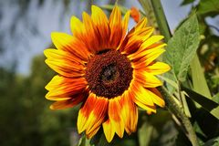 Sun Flower, Flower, Yellow Flower Stock Photos