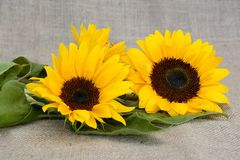 Sun Flower, Flower, Yellow, Summer Royalty Free Stock Photography