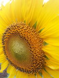 Sun Flower. Royalty Free Stock Image