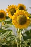 Sun flower in the Garden Stock Photo