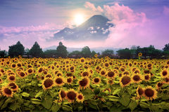Sun flower garden Royalty Free Stock Images
