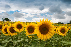 Sun flower garden Stock Images