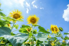 Sun flower garden Stock Photos