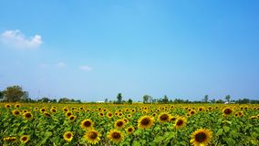 The sun flower garden and blue sky. royalty free stock image