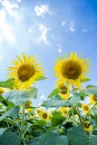 Sun flower garden Royalty Free Stock Photos