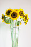Sun flower in the glass vase Stock Images