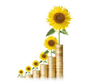Sun flower growing from coins Royalty Free Stock Images