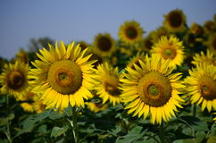 Sun flower. Growing in Punjab, India Royalty Free Stock Photos