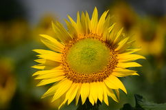 Sun flower. Growing in Punjab, India Royalty Free Stock Images