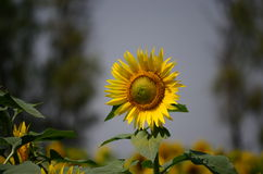 Sun flower. Growing in Punjab, India Stock Photos