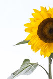 Sun flower half, isolated, for background Royalty Free Stock Image