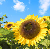 Sun flower with hard working bee Stock Image