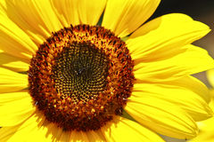 Sun Flower Head. Yellow sun flower with lots of seeds Royalty Free Stock Image