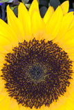 Sun Flower (Helianthus annuus) Royalty Free Stock Images