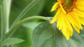 Sun Flower - Helianthus annuus - HD. A sun flower - helianthus annuus stock footage