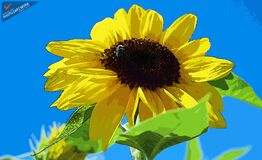 Sun Flower - ID: 16235-142812-2228 Stock Photos