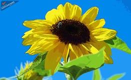 Sun Flower - ID: 16235-142812-2228 Stock Photos