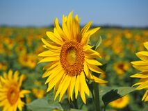 Sun Flower, Inflorescence Royalty Free Stock Photo