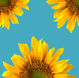 Sun Flower Isolated Stock Photo
