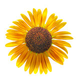 Sun flower isolated Stock Photos