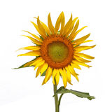 Sun flower, Isolated on white background Royalty Free Stock Photo