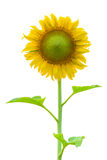 Sun flower isolated on white background Royalty Free Stock Photos