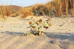 Sun flower. Like a desert Stock Image