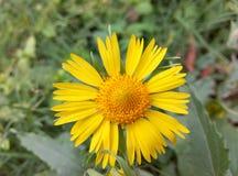 Sun Flower. Nature Flowers Sun Flower Macro Shot HD Pic Stock Photography