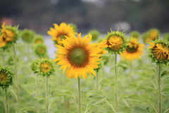 Sun flower in the nature park. Some Sum flower is bloom before Stock Images