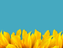 Sun Flower Petal and blue color Stock Photos
