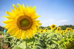 Sun flower plantation with blue sky Stock Photo