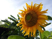 Sun flower. Flower sun in ratchaburi thailand Stock Images