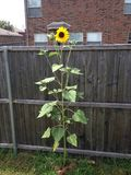 Sun flower reaching the sky plant royalty free stock photography