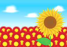 Sun flower on red flower background Stock Images