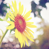 Sun flower with retro filter effect Stock Photo