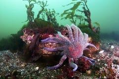 Sun Flower  Sea Star Stock Images