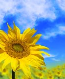 Sun Flower Shine. Sunflower with a blue sky in the background Stock Image