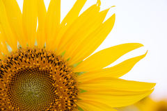 Sun flower with sky Royalty Free Stock Photos