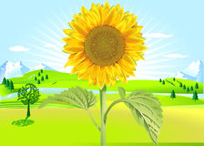 Sun flower in summer Royalty Free Stock Image