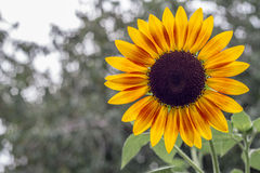 Sun flower. Summer tropical plant Royalty Free Stock Images