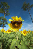 Sun flower and sun glass Royalty Free Stock Photography