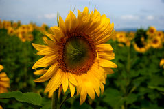 Sun flower sunbathing. A sun flower bathing in the sun Stock Photography