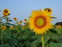 Sun Flower. Sunflower Royalty Free Stock Photos